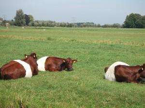 Koeien in de Krimpenerwaard; Van welke voetbalclub? (foto: René Hoeflaak)