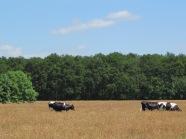 Welberg; Koeien grazen bij natuurgebied Het Oudland (foto: René Hoeflaak)