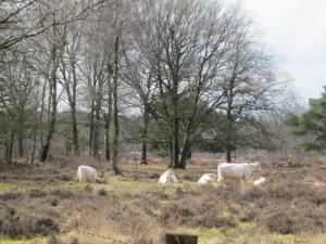 18 maart 2013: Charalois koeien in natuurgebied de tulp bij Soestdijk (foto: René Hoeflaak)