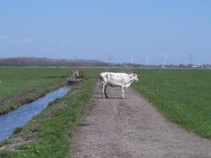 1 mei 2013: Koe op een landweg bij Haarlemmerliede. Met tegenliggende koeien heb ik slechte ervaringen. (foto: René Hoeflaak)