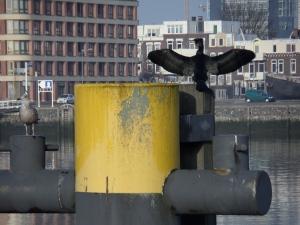 Rotterdam, 3 december 2013. Aalscholver en meeuw aan oevers van de Maashaven (foto: René Hoeflaak)
