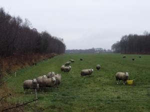 Wolvega, 17 december 2013: Schapen in een weiland langs het Helomabos (foto: René Hoeflaak)