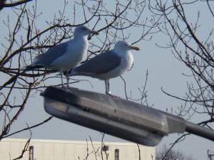 Meeuwen genoeg en overal, zoals hier bij de haven van Yerseke op 20 december 2013. (foto: René Hoeflaak)