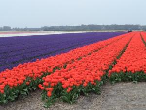 10 april 2014: Tulpenvelden aan de  Hyacinthenlaan tussen Hillegom en Lisse (foto: René Hoeflaak)