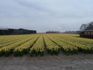 Bollenveld aan de Zilkerbinnenweg bij De Zilk (foto: René Hoeflaak)