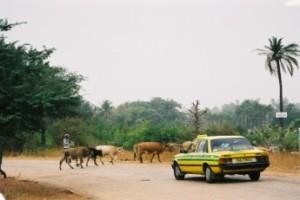 Februari 2005: overstekend vee bij Kotu. (foto René Hoeflaak)